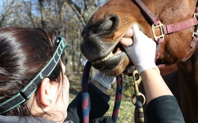 Equine Veterinary Dental Service Illinois